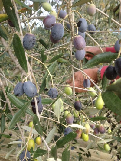Olives on the tree - the harvest begins in Paradiso Integrale